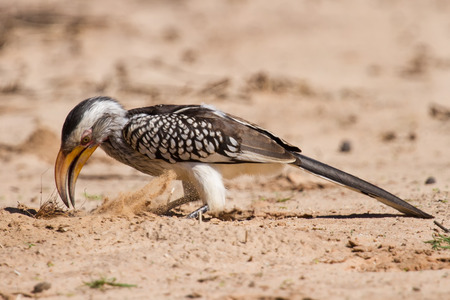 Yellow billed hornbill close up digging for insects in dry Kalahari sand photo