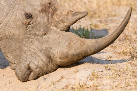 Close-up of a white rhino head with tough wrinkled skin photo
