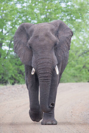 elephant angry: Angry and dangerous elephant bull charge along a dirt road Stock Photo