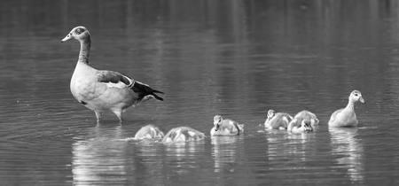 Egyptian goose family go for a swim on their own in dangerous wild water artistic conversion photo