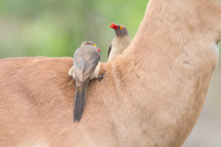 mutualism: Red billed oxpecker looking for ticks on the neck of an impala Stock Photo