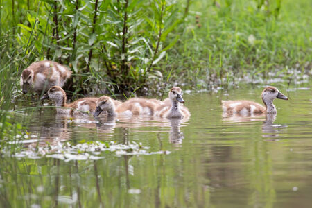 Baby Egyptian goose go for a swim on their own in dangerous wild water photo