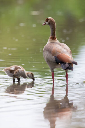 Egyptian goose family go for a swim on their own in dangerous wild water photo