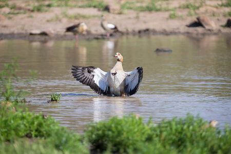 flapping: Egyptian goose standing in water flapping its wings to dry