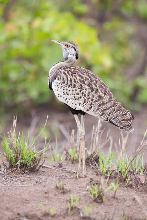 bellied: Black-bellied bustard preparing to call for its mate