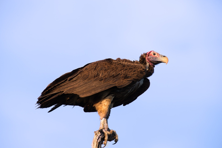 Lappet faced vulture sitting on a branch in the morning sun waiting to take off