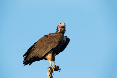 lappet: Lappet faced vulture sitting on a branch in the morning Stock Photo