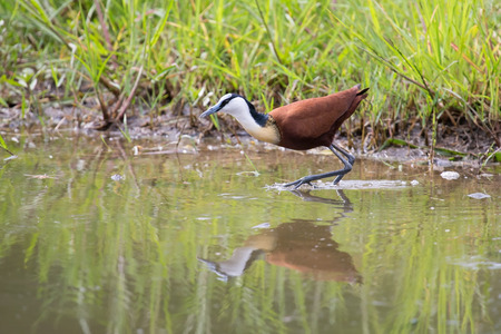 jacana: African jacana plod along on water plants chasing small insects to eat