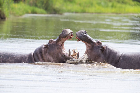 Two huge male hippos fight in water for the best territory