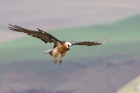 adult bones: Adult bearded vulture landing on a rock ledge where bones are available