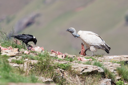 white necked: Cape Vulture and white necked raven sitting on a mountain Stock Photo