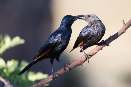 red winged: Pair of red winged starlings wit on a branch busy with courtship Stock Photo