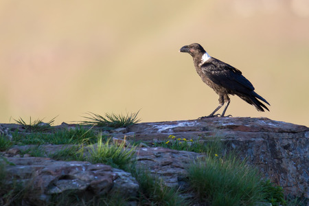 white necked: White necked raven perching alone on a rock on top of a mountain Stock Photo