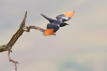 red winged: Red-winged starling take off from a dry branch with spread wings