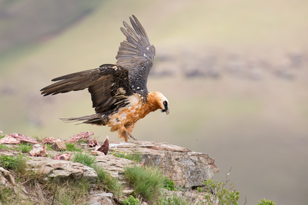 dult bearded vulture landing on a rock ledge where bones are available photo