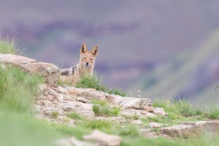 elusive: Shy black backed jackal scavenging for food on the side of a mountain