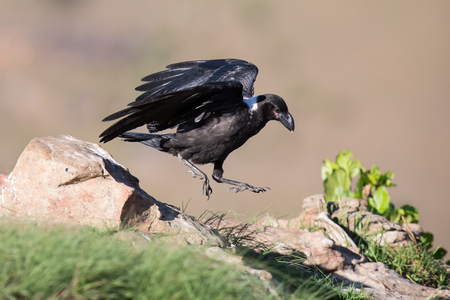 white necked: White necked raven gliding is a strong wind on top of a maointain