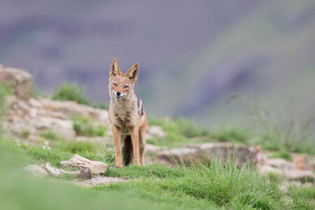 scavenging: Shy black backed jackal scavenging for food on the side of a mountain