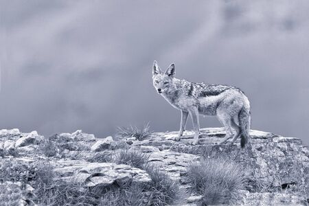 scavenging: Shy black backed jackal scavenging for food on the side of a mountain artistic conversion