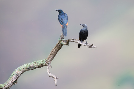 red winged: Red-winged starling pair sit on a dry branch with spread wings