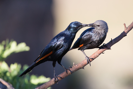 courtship: Pair of red winged starlings wit on a branch busy with courtship Stock Photo