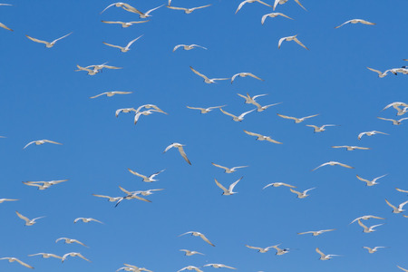 avia: Huge swarm of terns taking off from lagoon in the sun