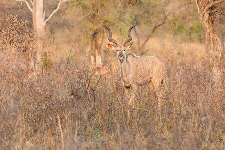 elusive: Big kudu bull graze among dead thorn shrub for green leaves Stock Photo