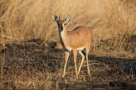 elusive: Single alert steenbok carefully graze on burnt grass