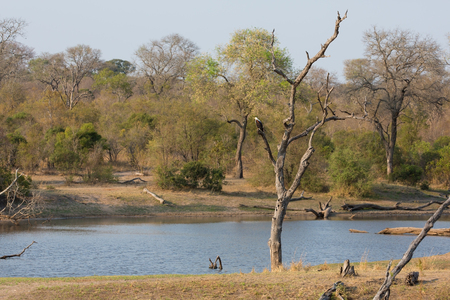 pozo de agua: Águila de pescados se sientan en un árbol muerto cerca de un pozo de agua en áfrica Foto de archivo