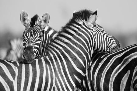 zebra: Manada de la cebra en una foto en blanco y negro con la cabeza juntos Foto de archivo