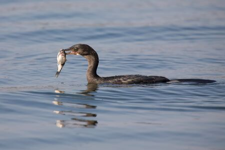 phalacrocoracidae: Reed cormorant floating on the water while swallow fish