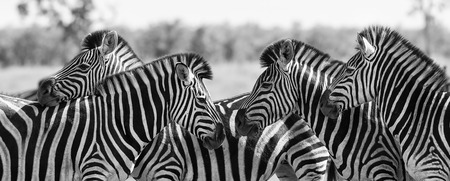head to head: Zebra herd in a black and white photo with heads together