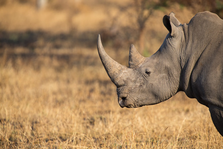 poach: Lone rhino standing on a open area looking for safety from poachers