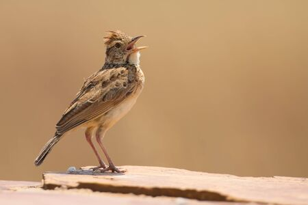 call of nature: Rufous-naped lark sit on a rock and call to claim his territory