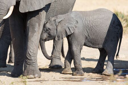 mum and baby: Elephant calf drinking water on a dry and hot day