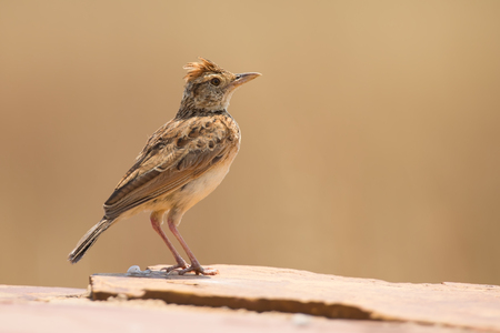 omnivore animal: Rufous-naped lark sit on a rock and call to claim his territory