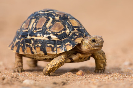 leopard head: Leopard tortoise walking slowly on sand with his protective shell