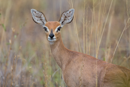 campestris: Single alert steenbok carefully graze on burnt grass