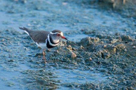 wading: Small three banded plover wading on the muddy shore of a pond