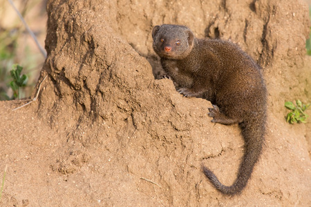 mongoose: Dwarf mongoose family enjoy the safety of their burrow