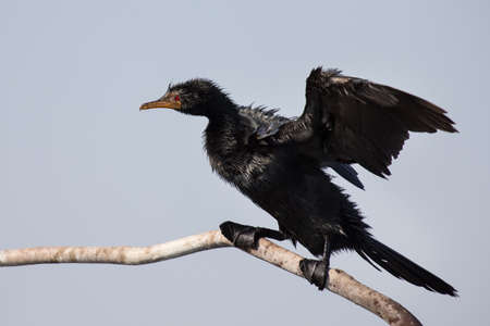 phalacrocoracidae: Reed cormorant sitting on branch to dry itself after fishing