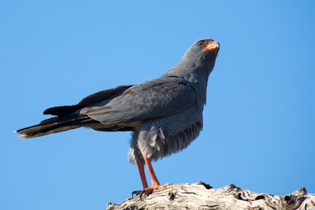 Beautiful dark chanting goshawk male sit on perch looking for prey Stock Photo