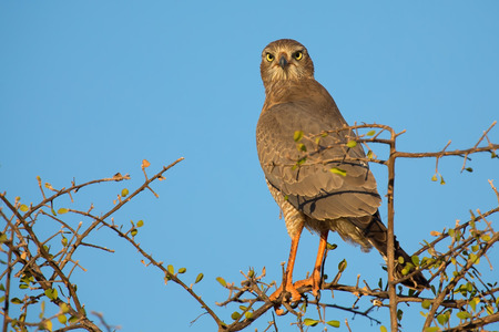 Beautiful dark chanting goshawk female sit on a perch