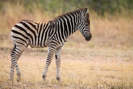 equid: Small zebra foal standing with an ox-pecker on his back