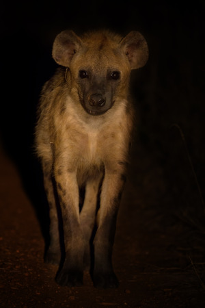 scavenge: Scary hyena approach out of the darkness to scavenge food