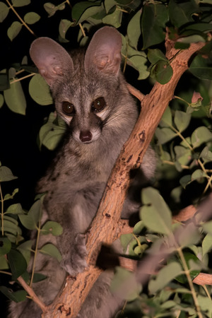 night spots: Genet with spots hiding in a tree at night Stock Photo