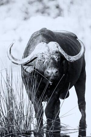 sediento: Sediento Cabo de agua potable b�falo de una conversi�n art�stica estanque