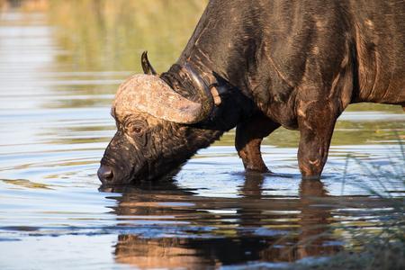 sediento: Sediento Cabo de agua potable búfalo de un estanque