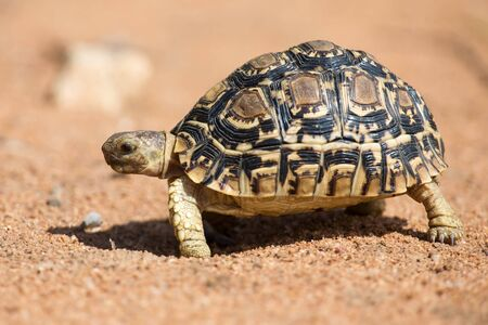 TORTOISE: Leopard tortoise walking slowly on sand with his protective shell