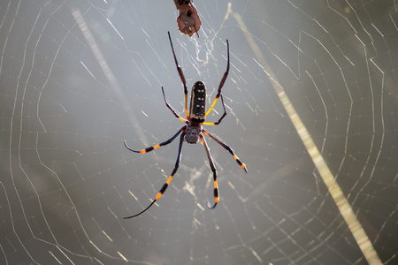 spider: Golden orb spider sit on a web waiting for insects in the morning sun Stock Photo
